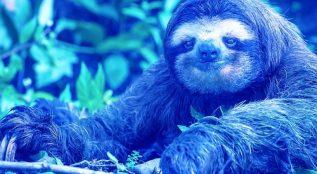 preguica-azul.jpg